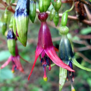 No 65 Tree Fuchsia